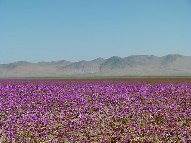 Atacama y su desierto florido 2015 for Piletas publicas en zona norte