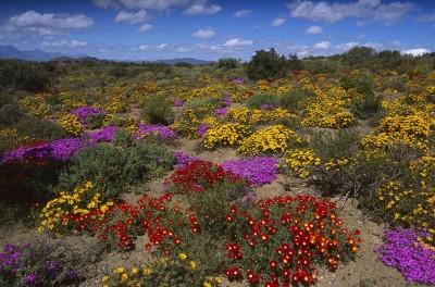 Flores-Desierto-antofagasta-radio-chicureo-online