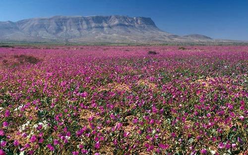 Atacama Desert in Bloom, Desierto Florido