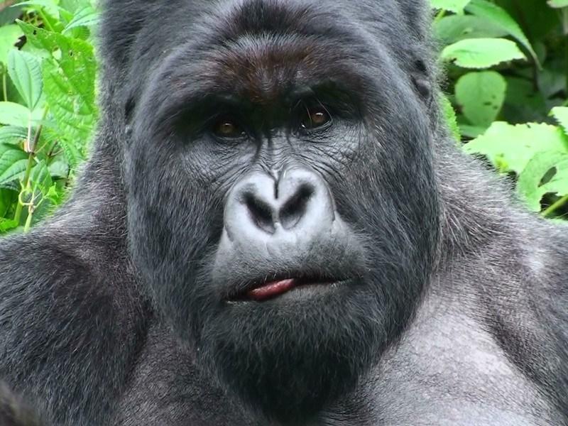 ebola-en-gorilas